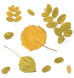 Autumn rowan birch or betula aspen populus vector