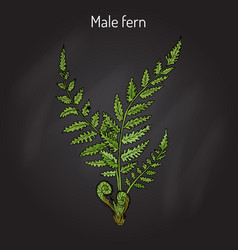 male fern dryopteris filix-mas plant with leaves vector image vector image