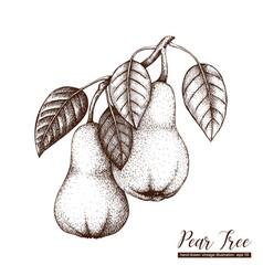 pear vintage sketch vector image vector image