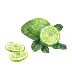 Sliced bergamot watercolor on a white background vector