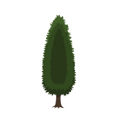 cypress tree isolated on white vector image vector image