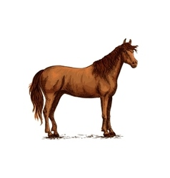 Arabian brown horse standing sketch vector