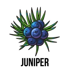 Juniper berries sketch style vector image