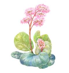 blooming tea badan watercolor on white vector image
