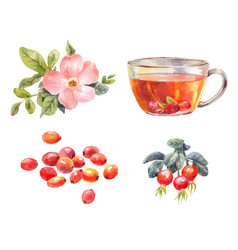 Rosehips watercolor tea with rose hips flower vector