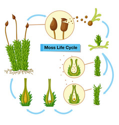 Diagram showing moss life cycle vector