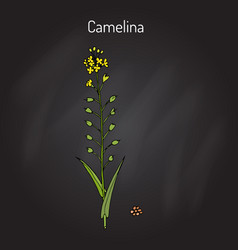 Camelina sativa or gold-of-pleasure or false flax vector
