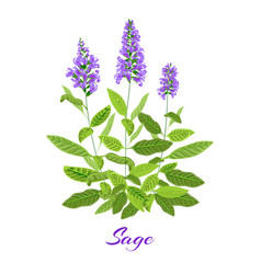 Flowering sage herb vector
