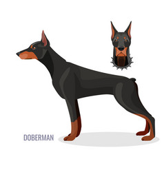 Gorgeous doberman with dark smooth fur stands in vector