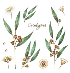 Watercolor eucalyptus vector image