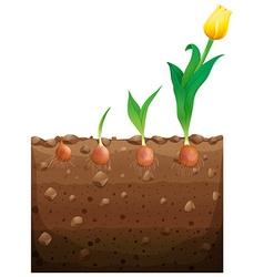 Tulip flower growing underground vector