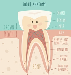 Tooth anatomy funny tooth concept of healthy vector