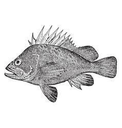 Quillback rockfish vintage vector