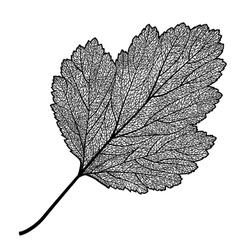 Manually drawn leaf skeleton vector