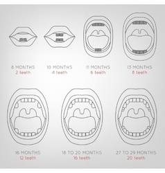 Baby First Teeth Chart vector image