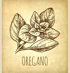 Oregano ink sketch vector