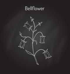peach-leaved bellflower campanula persicifolia vector image vector image