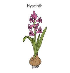 Hyacinth hyacinthus orientalis flowering plant vector