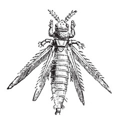 magnified thrips vintage vector image vector image