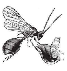 oak gall fly vintage vector image vector image