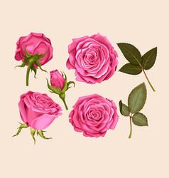 Set of pink rose vector