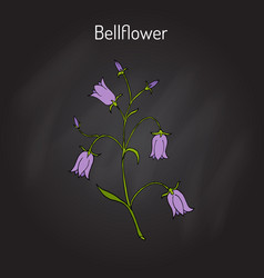 Peach-leaved bellflower campanula persicifolia vector
