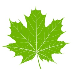 Green maple leaf isolated vector