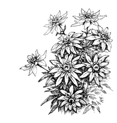 Edelweiss etching rare flowers foliage vector