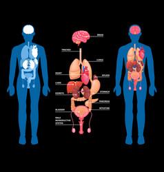 Human anatomy internal organs layout vector