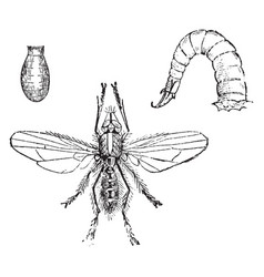 Larva and chrysalis of the onion fly vintage vector
