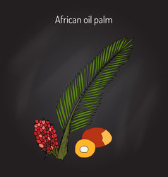African oil palm elaeis guineensis or macaw-fat vector