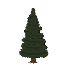 spruce evergreen tree vector image vector image