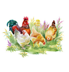 chicken and rooster in the grass on white vector image vector image