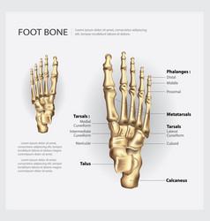 Foot bone vector