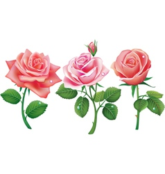 set of three pink roses vector image vector image