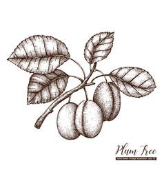 plum vintage sketch vector image vector image