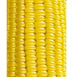 Ripe corn illustration vector