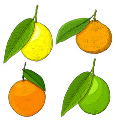 Citrus fruits colored hand drawn sketch vector