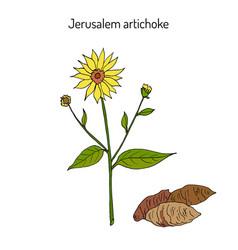 jerusalem artichoke or sunroot sunchoke earth vector image vector image