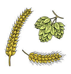 Barley and wheat malt and hops beer of vector