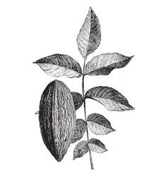 Leaf and nut of juglans regia elongata vintage vector