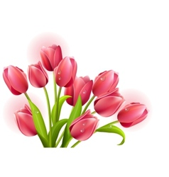 bunch of tulips isolated vector image vector image