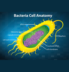 Bacteria cell structure vector