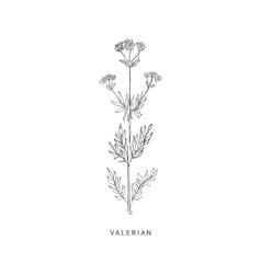 Valerian hand drawn realistic sketch vector