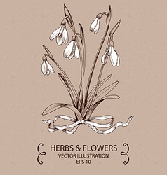 Snowdrops white bow vector