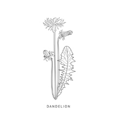 Dandelion hand drawn realistic sketch vector