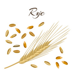 rye ear and grains vector image vector image