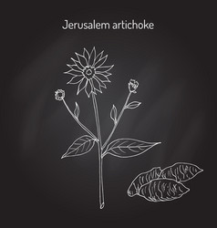 Jerusalem artichoke or sunroot sunchoke earth vector