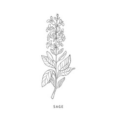 Sage hand drawn realistic sketch vector