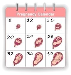 Growth of a human fetus on weeks calendar vector